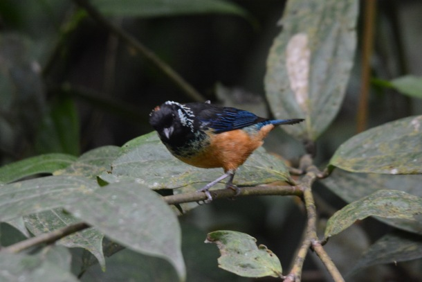 Spangle-cheeked Tanager Calle Vargas