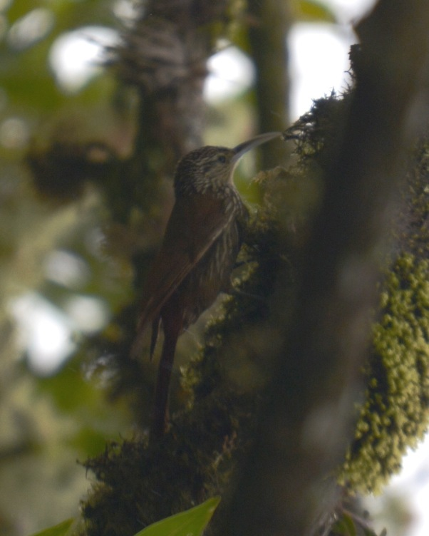 Spot-crowned Woodcreeper Calle Vargas
