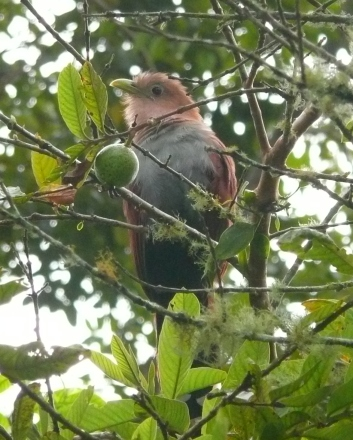 Resident Squirrel Cuckoo