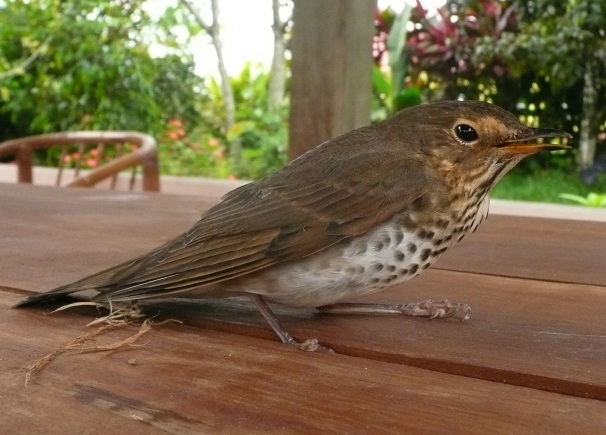Swainson's thrush open beak