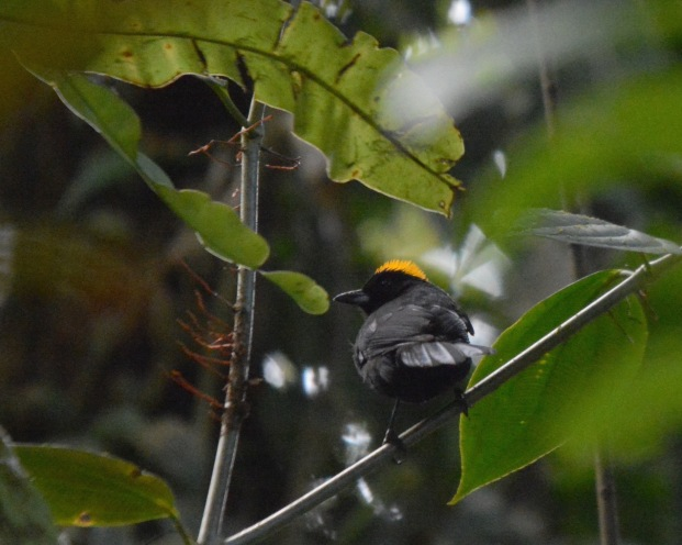 tawny-crested-tanager-male-la-esperanza