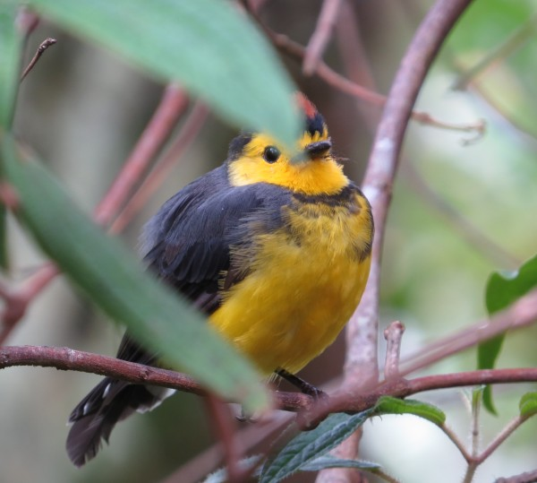 Warbler, Redstart, Collarded San Gerardo de Dota (23)