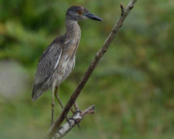 Yellow-crowned Night-Heron imm. Angostura