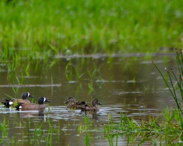 Blue-winged Teal Angostura