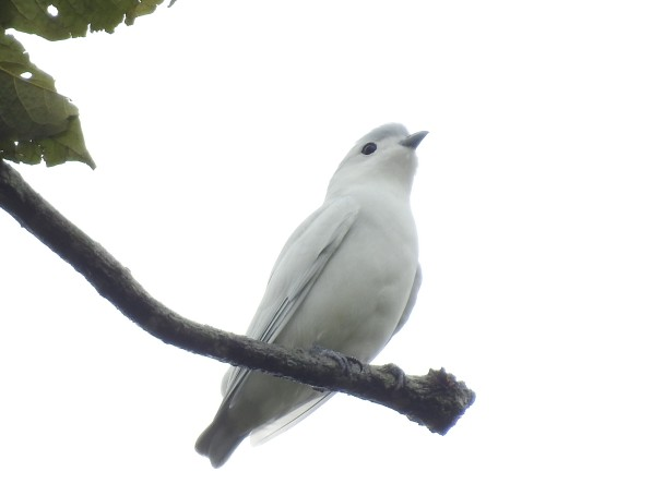 Cotinga, Snowy, Lagos de Bonilla (2)