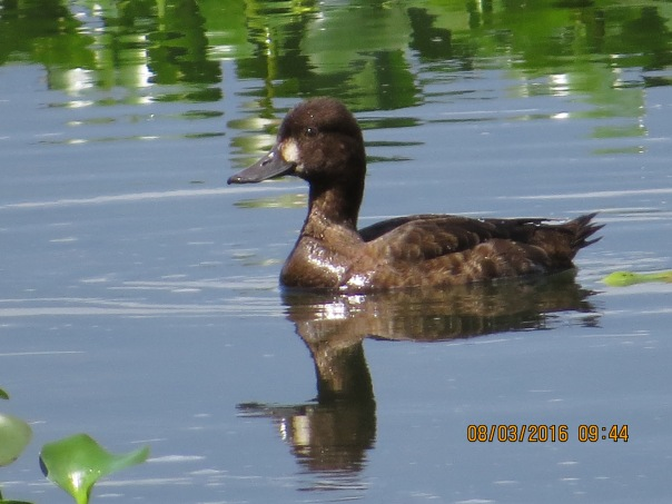 Duck, Lesser Scaup (female, Angostura) (1)