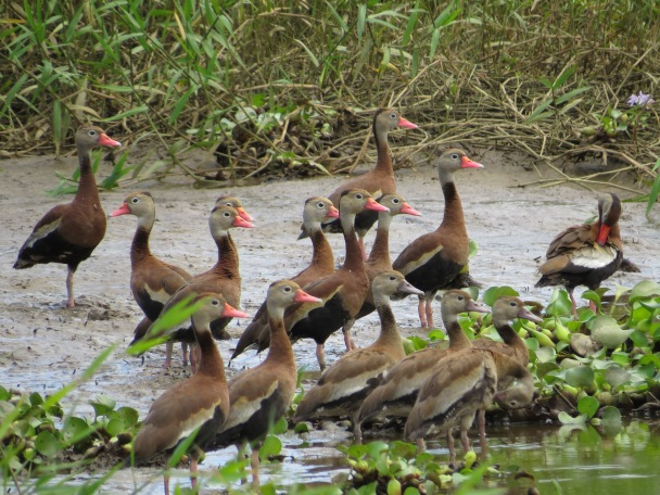 Duck, Whistling-, Black-bellied adults+juvenile Angostura (1)