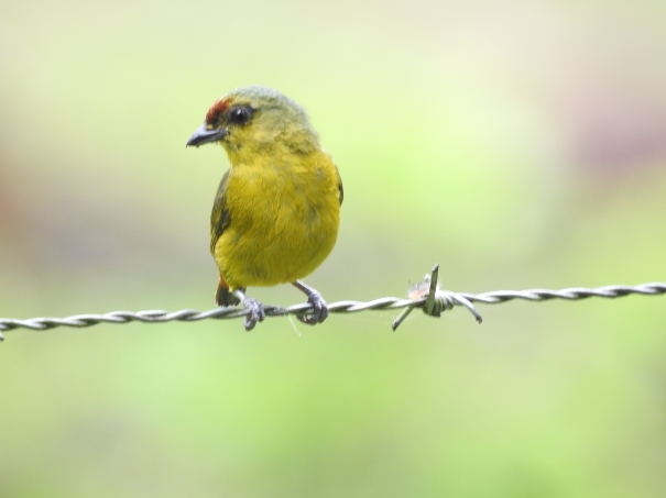 Euphonia, Olive-backed, female, Lagos de Bonilla (2)
