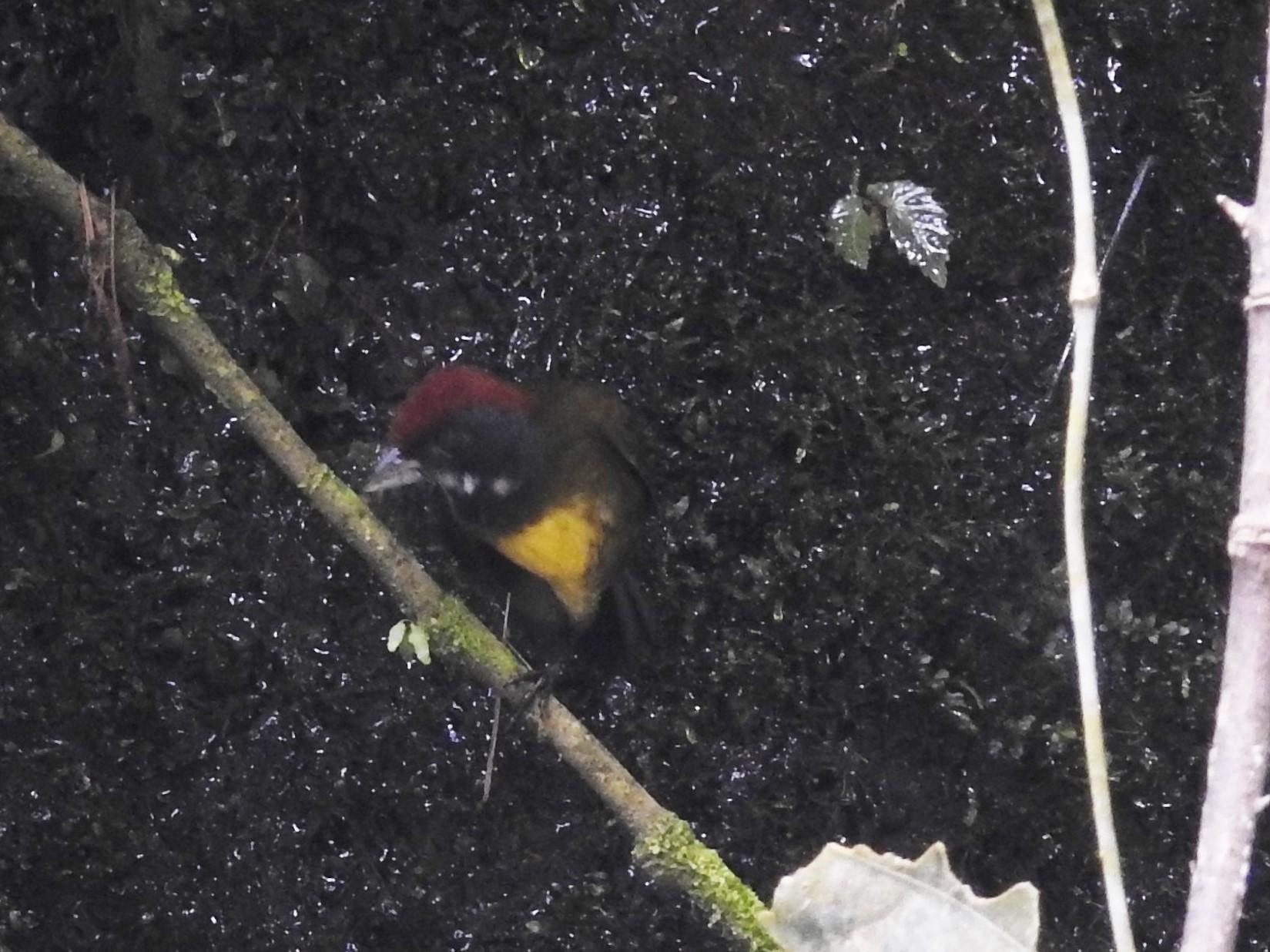 Finch Sooty-faced La Muralla