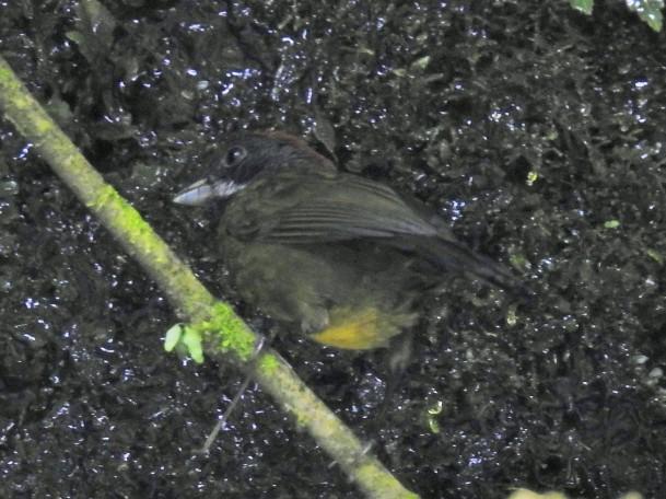 Finch, Sooty-faced, La Muralla (2)