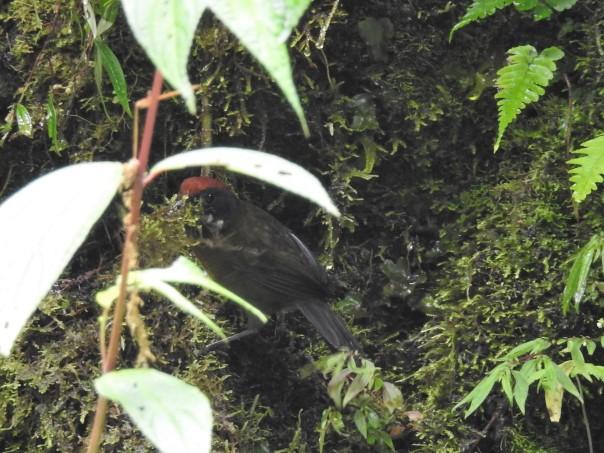 Finch, Sooty-faced, moss for nest, La Muralla
