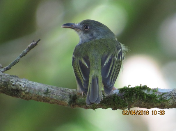 Flycatcher, Bentbill, Northern (Angostura) (1)