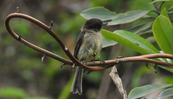 Flycatcher, Black-capped, Bajos del Volcan (1-2)