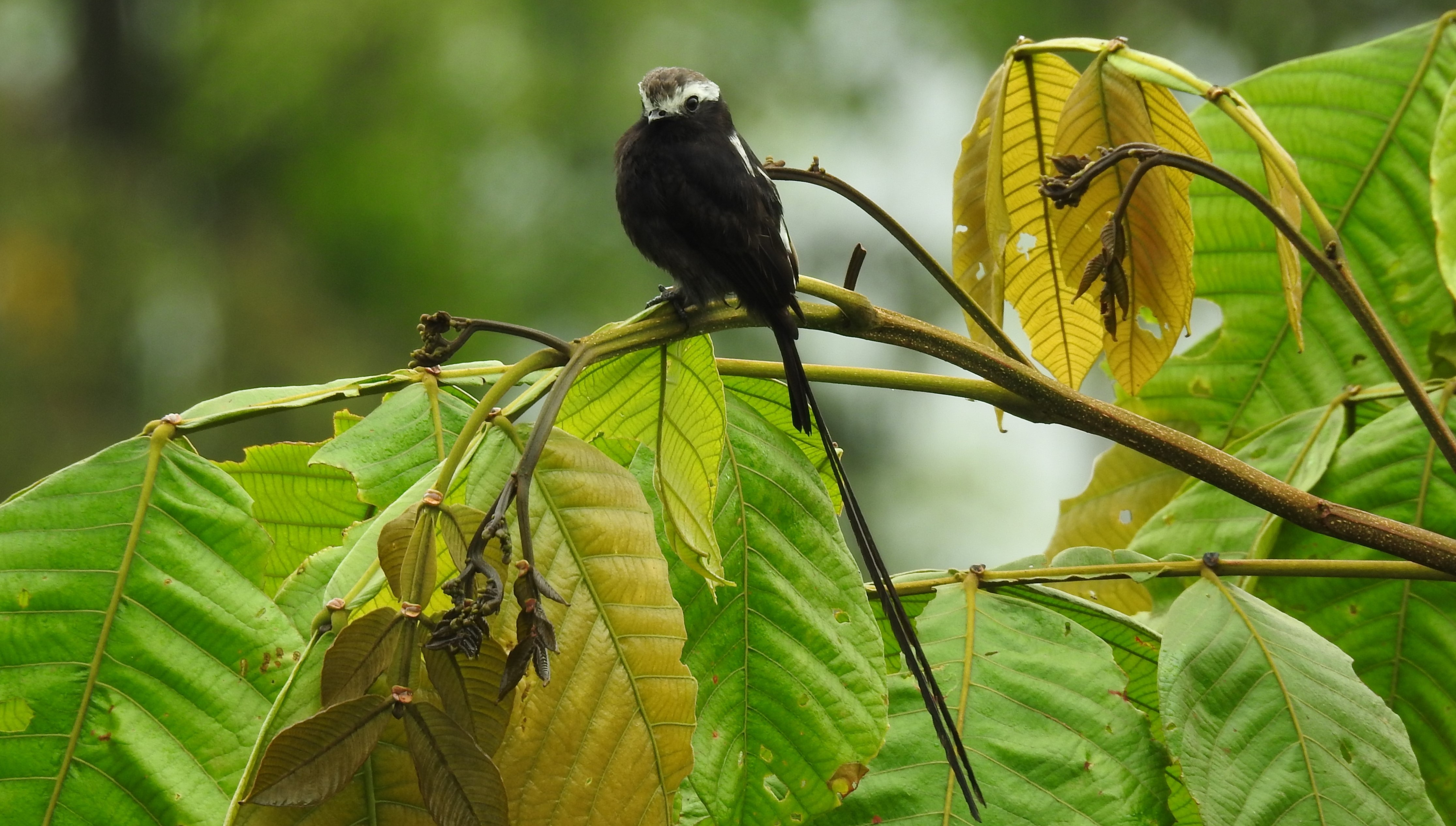 Flycatcher, Tyrant, Long-tailed, Lagos de Bonilla (2)