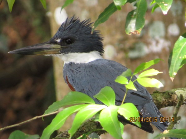 Kingfisher, Ringed (female, Reventazon- Angostura) (5)