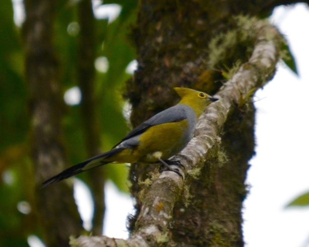 Long-tailed Silky-Flycatcher Volcano Road