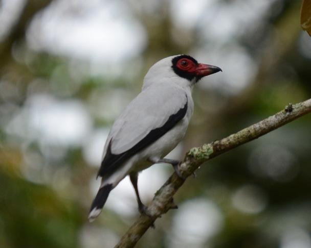 Masked Tityra male Angostura