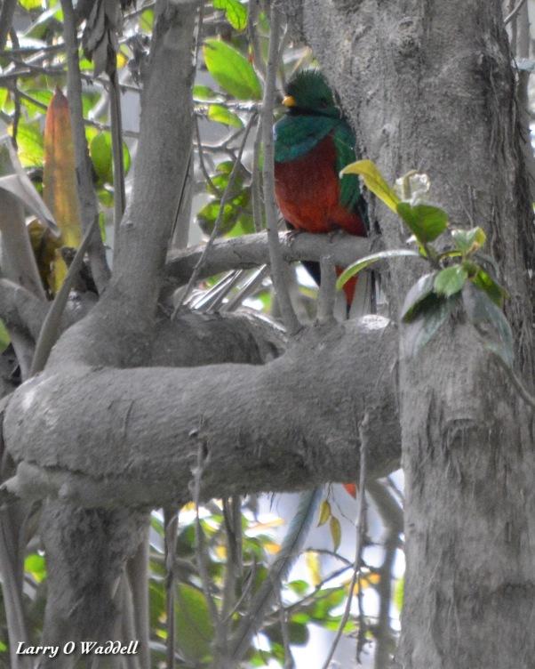 Resplendent Quetzal male 3 El Tapojo