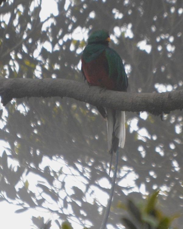 Resplendent Quetzal male El Tapojo