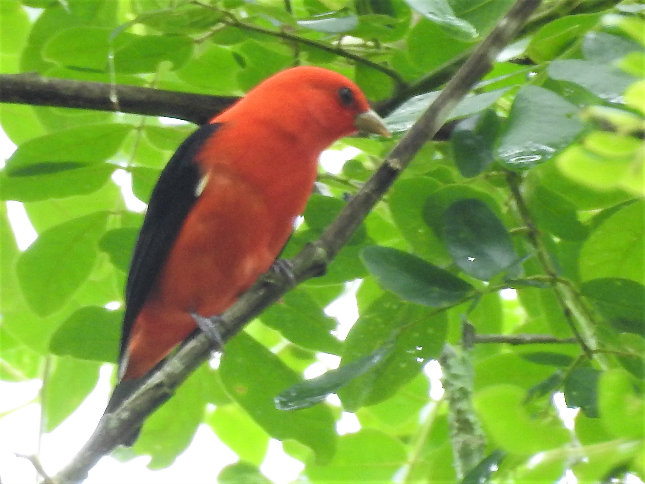 Tanager, Scarlet, male, Lagos de Bonilla