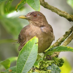 Thrush, Clay colored (Santa Rosa; garden)
