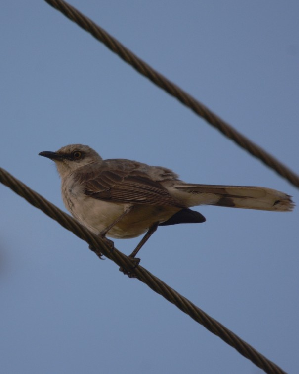 Tropical Mockingbird La Pastora