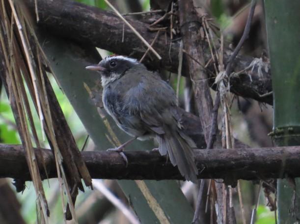 Warbler, Black-cheeked Bajos del Volcan (1)