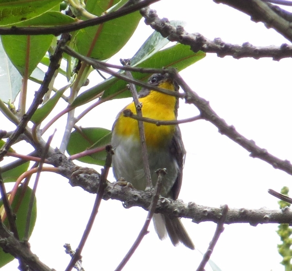 Warbler, Flame throated (Turrialba variety) Bajos del Volcan (3)