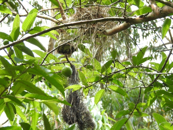 Becard, White-Winged, Flycatcher, Olive-yellow, nests, El Banco