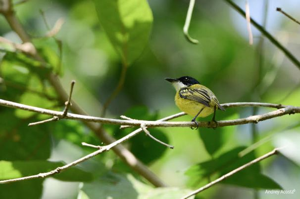Black-headed Tody-Flycatcher Guayabo Andrey Acosta