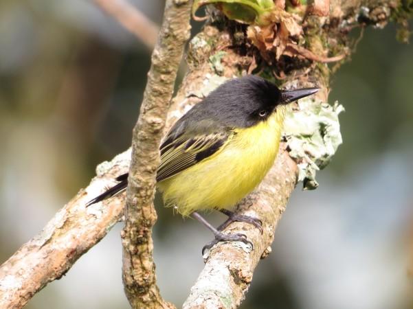 Common Tody-Flycatcher, (Santa Rosa, garden)