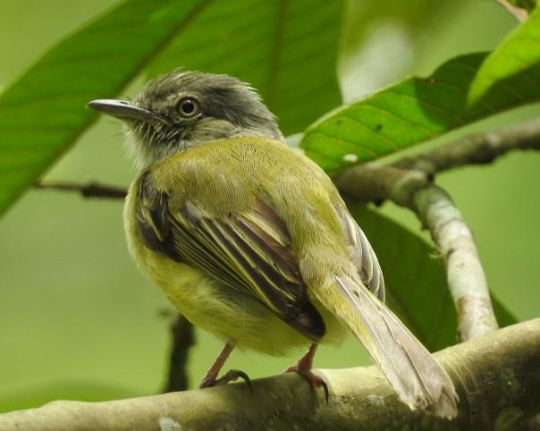 Flycatcher, Yellow-olive, El Banco (0)