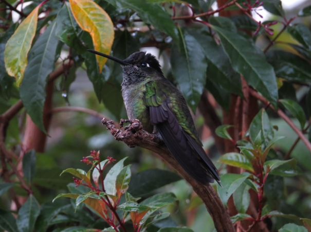 Hummingbird, Magnificent , male San Gerardo de Dota (10)