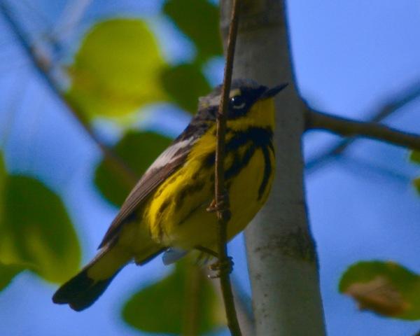 Magnolia Warbler Minn