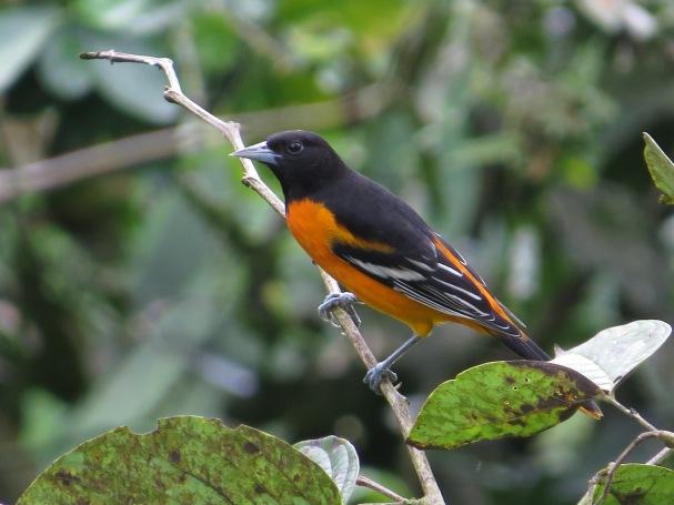 Oriole, Baltimore male Santa Rosa garden (1)