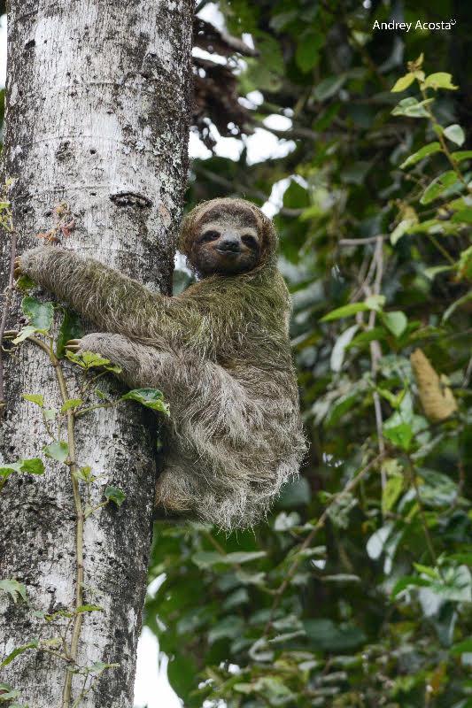 Three-toed Sloth Guayabo2 Andrey Acosta