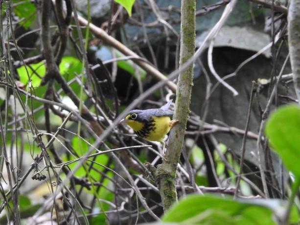 Warbler, Canada, male, Aquiares