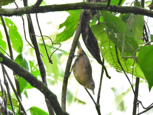 Antbird, White-flanked, female, Aquiares (11)