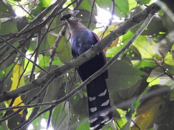 Cuckoo, Squirrel (with cicada) (5)