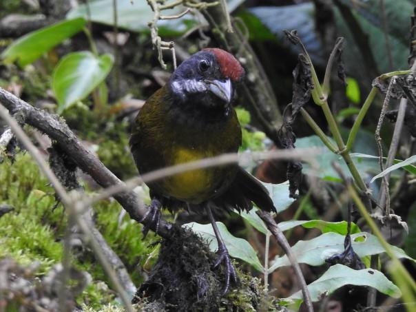 Finch, Sooty-faced, Bonilla Arriba-Rio Roca (4)