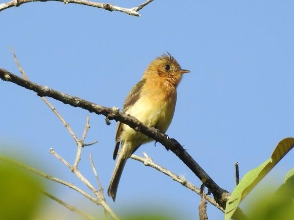 Flycatcher, Tufted, Bonilla Arriba-Rio Roca (2)