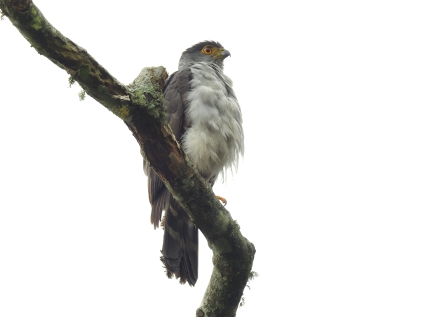 Hawk, Bicolored, Aquiares (1)