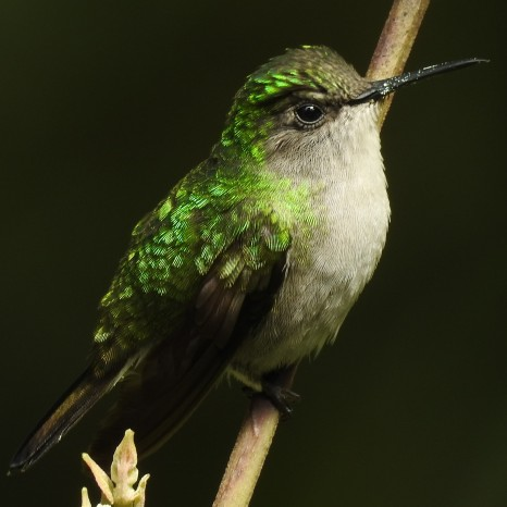 Hummingbird, Black-bellied, female, Bonilla Arriba-Rio Roca (3)