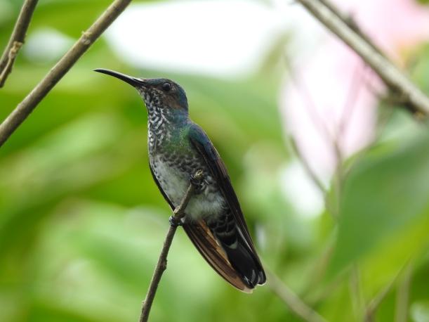 Hummingbird, Jacobin, White-necked, female, San Rafael (3)