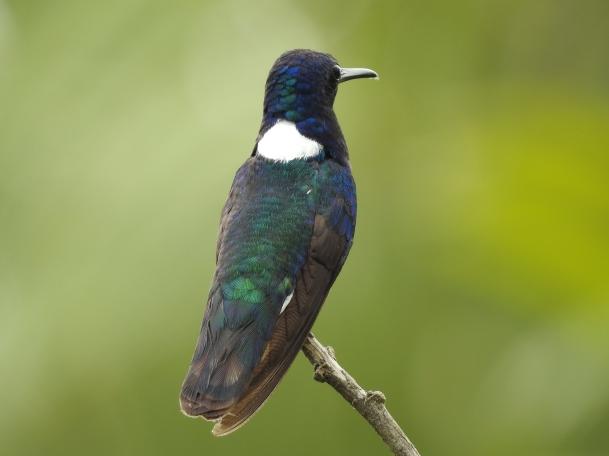 Hummingbird, Jacobin, White-necked, male, San Rafael (1)