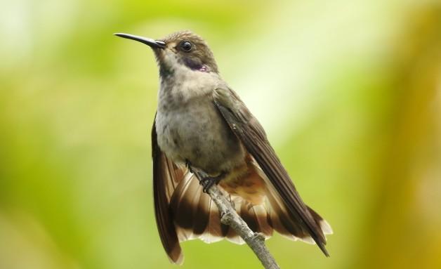 Hummingbird, Violetear, Brown, San Rafael
