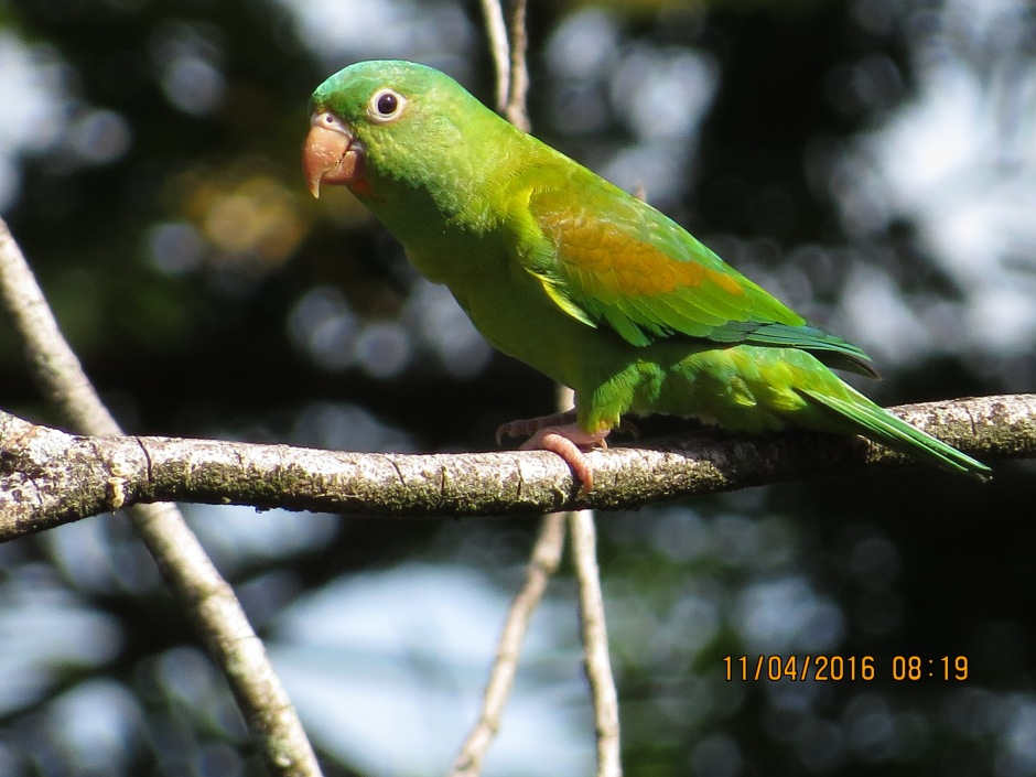 Parakeet, Orange-chinned, Siquirres (1)