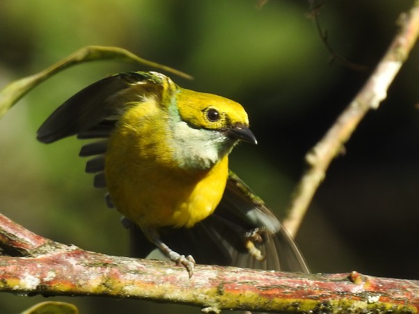 Tanager, Silver-throated, Bonilla Arriba-Rio Roca (2)