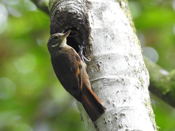 Treecreeper, Xenops, Plain, Aquiares (3)