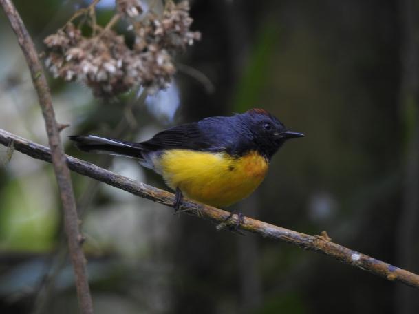 Warbler, Redstart, Slate-throated, Las Virtudes (2)